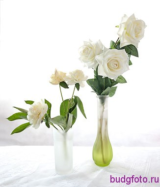 белые розы и пионы на белом фоне